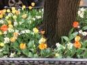 Tulips in Nieuw Amsterdam