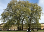 Royal Plane Tree