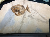 Fish print from Italy, 45 Million Years