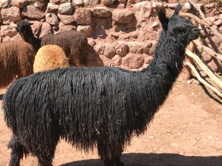Black Alpaca--0% cholesterol